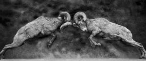 Rams Butting Horns